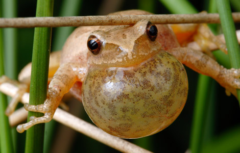 Spring-Peepers-Photos